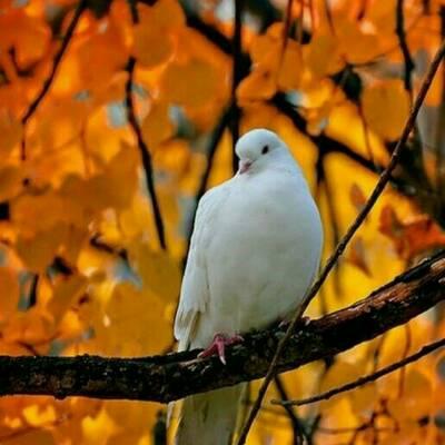 کانال انجمن کبوتران ایران