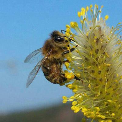 کانال آشنایی با فواید زنبو