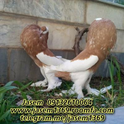 کانال فروش کبوتر زینتی