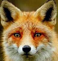 کانال Fox