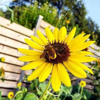 کانال Sunflower