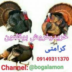 کانال بوقلمون