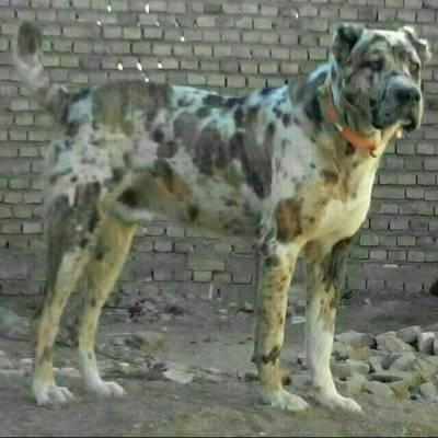 کانال Dog_سگ بازان