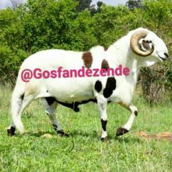 کانال 🐑 گوسفند زنده (خراسان)🐑