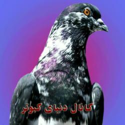کانال دنیای کبوتر