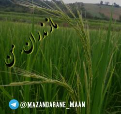 کانال مازندران من