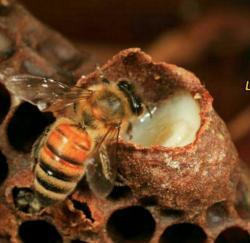 کانال ژل رویال و عسل درمان