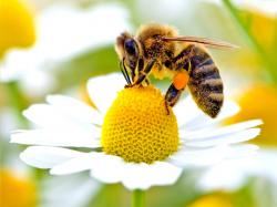کانال عسل رویال