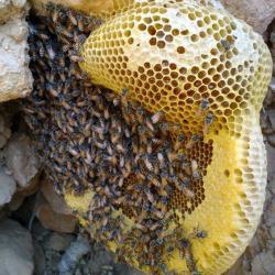 کانال عسل محلی شمال خراسان