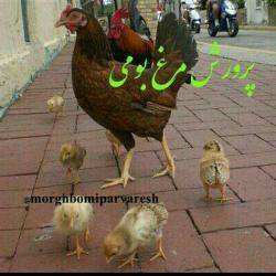 کانال پرورش مرغ بومی