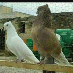 کانال بهترین کبوترها