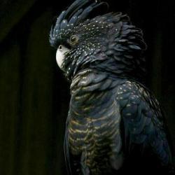 کانال Persian parrot